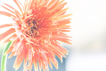 background flower orange. flower Gerbera orange. The background is blurred bokeh