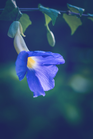 background nature Flower  Thunbergia erecta. full flower. Purple flowers Imagens - 121762534