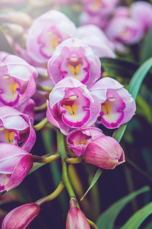 background nature Flower. Garden flowers. Bouquet of pink orchids. Thailand chiangmai doi-angkhang