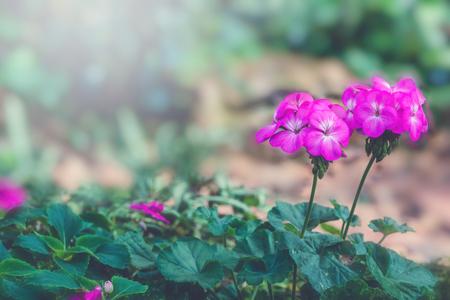 background nature Flower. Garden flowers. A bouquet of pink flowers. Thailand chiangmai doi-angkhang