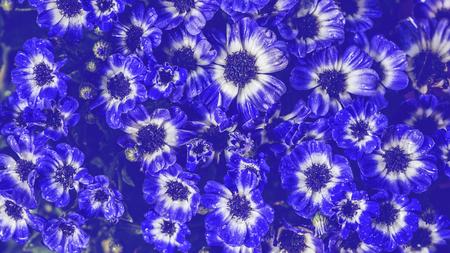 background nature Flower. Garden flowers. Blue Flower. Thailand chiangmai doi-angkhang