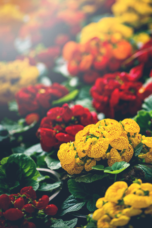 background nature Flower. Garden flowers in red and yellow.. A bouquet of flowers Juan striped flowers. Thailand chiangmai doi-angkhang Stock Photo