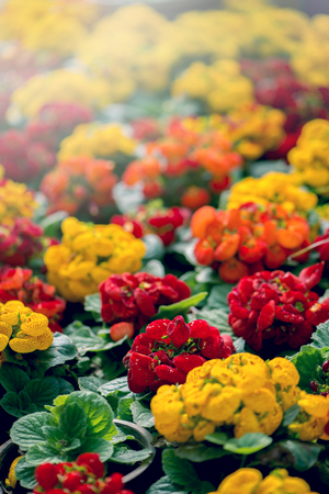 background nature Flower. Garden flowers in red and yellow.. A bouquet of flowers Juan striped flowers. Thailand chiangmai doi-angkhang 写真素材