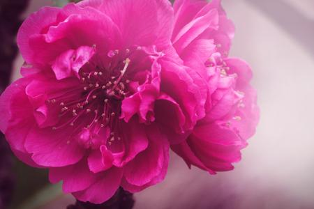 background nature Flower Peach pink flowers , Prunus persica