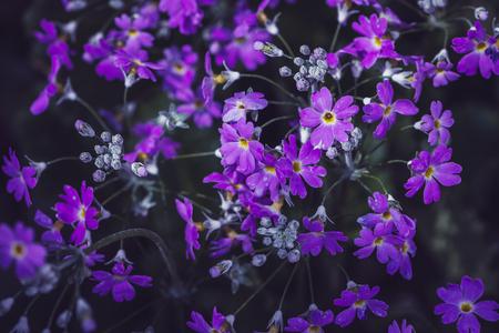 background nature Flower. Garden flowers. Bouquet Purple. Thailand chiangmai doi-angkhang