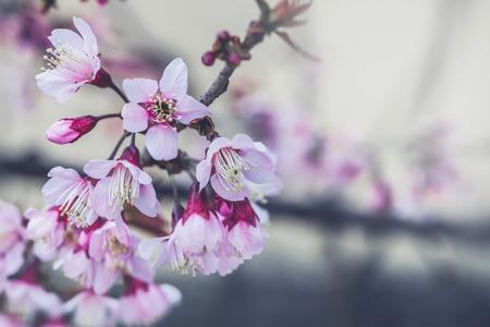 background nature Flower Valentine. Prunus cerasoides Background blur bokeh Pink