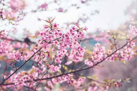 background nature Flower Valentine. Prunus cerasoides Background blur bokeh Pink