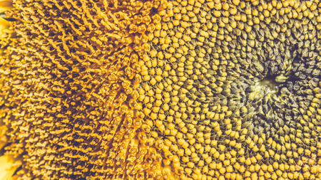 background Flower Helianthus yellow. Full frame