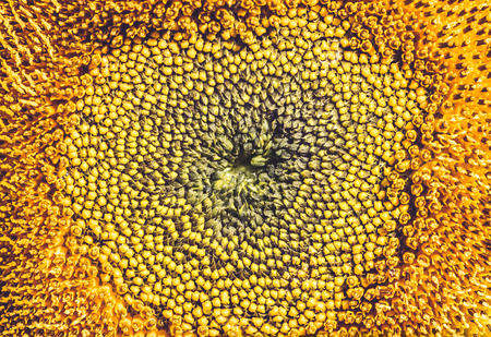 background Flower Helianthus yellow. Full frame