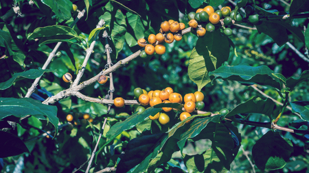 Coffee tree with coffee beans on coffee plantation. The species of yellow pigment