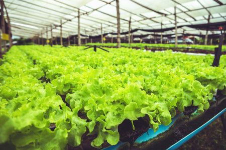 How to grow organic vegetables, organic salad. In the nursery