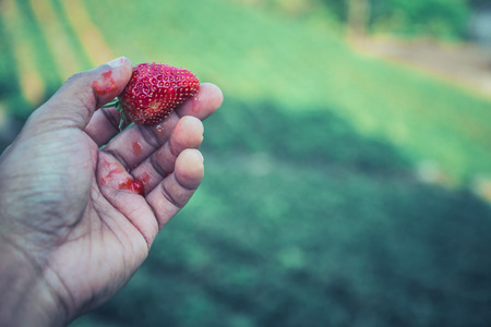 Fresh strawberries closeup. holding strawberry in hands Banco de Imagens