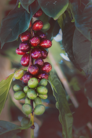 Coffee tree with coffee beans on coffee plantation