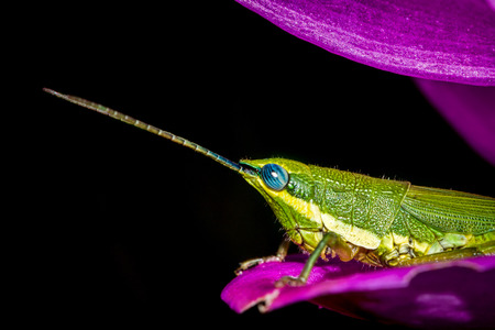 BackgroundGrasshopper green Perched on a flower.Black background Stock Photo