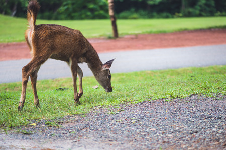 Deer walking on the lawn. In the park. Thailand Фото со стока - 121836790