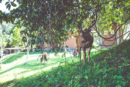 Deer walking on the lawn. In the park. Thailand Фото со стока - 121837063