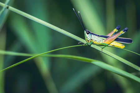 Background green grasshopper on a leaf. Banco de Imagens - 121837064