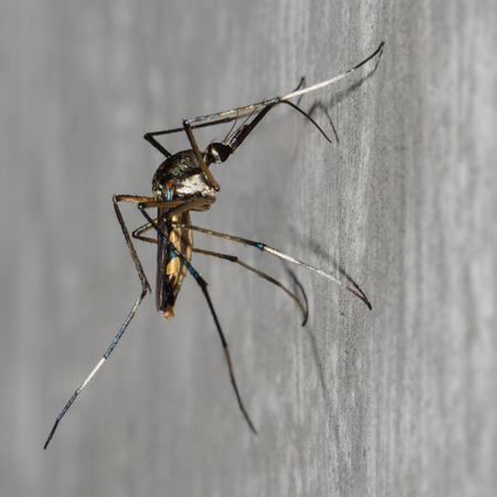 Background mosquito perched on a cement wall.
