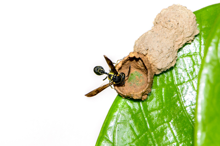 BackgWasp nest on a green leaf. Behind the white