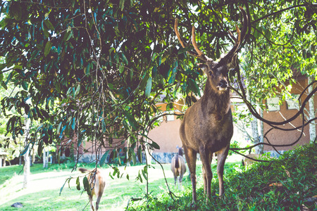 Deer walking on the lawn. In the park. Thailand
