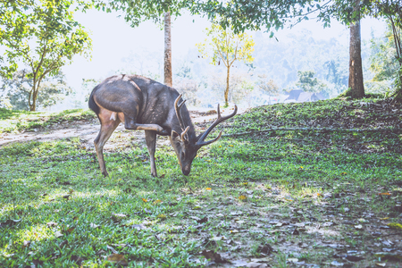 Deer walking on the lawn. In the park. Thailand Фото со стока - 121837122