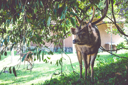 Deer walking on the lawn. In the park. Thailand Фото со стока - 121837174