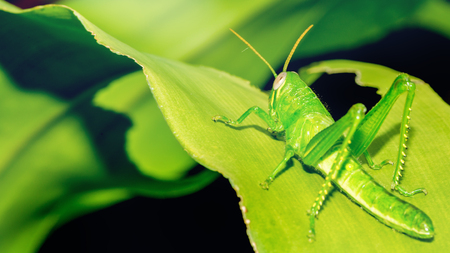 Background green grasshopper on a leaf.