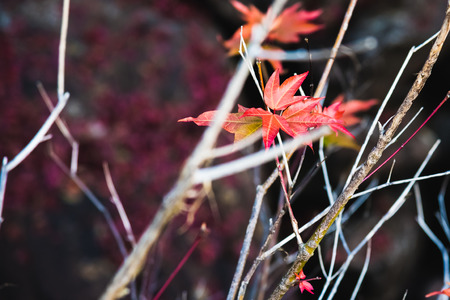 Natural background. Red maple leaves are on the tree. Stock Photo