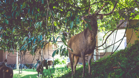 Deer walking on the lawn. In the park. Thailand Фото со стока - 121837267