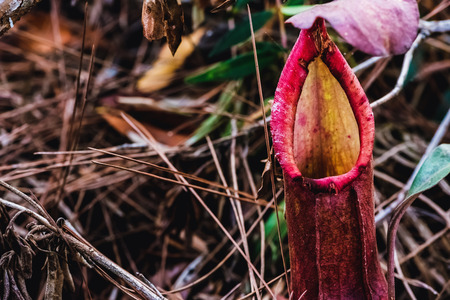 Natural background. Nepenthes plant on the grass in the forest.