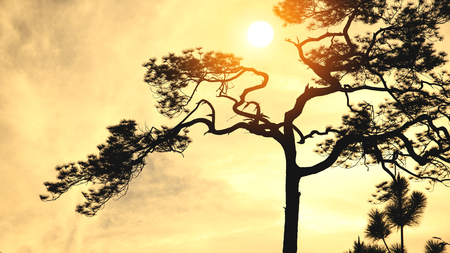 Natural background Pine black shadow. The backdrop is  sky sunset yellow gold. Thailand. Reklamní fotografie - 122182364