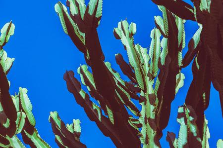 background nature. Cactus Cereus peruvianus. Blue sky background Stock Photo