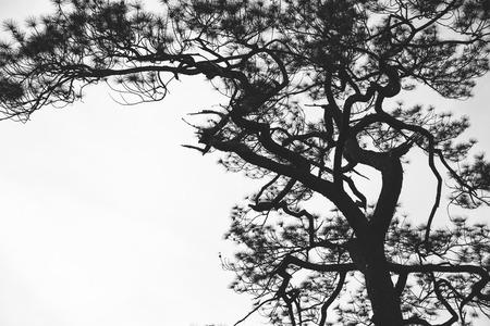 Natural background Pine black shadow. Background white background
