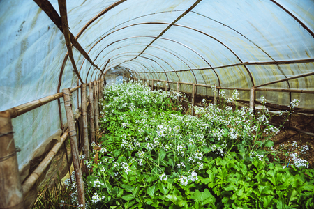 Organic vegetable salad Butter Head growing house. organic vegetable. CHINESE RADISH flower.