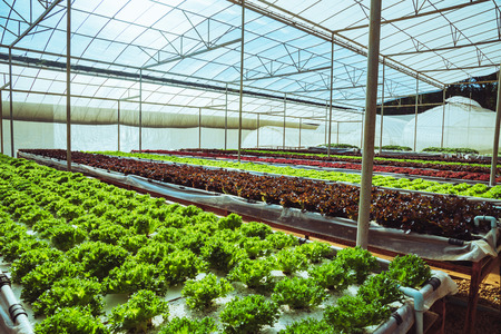 Organic vegetable salad growing house. organic vegetable Imagens