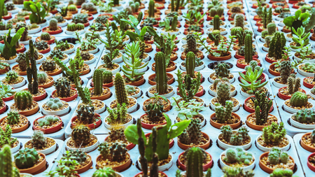 Cactus farming in agricultural stations.Cactus Many varieties