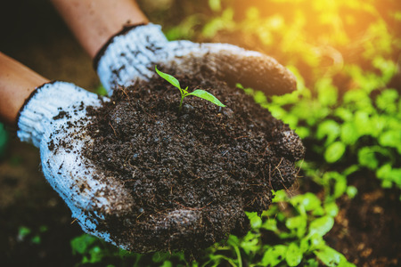 Woman asia plant agriculture vegetable. dig into soil the vegetable garden cultivation and separate the early growth. plant vegetable Chinese cabbage