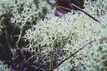 Natural background. cladonia on the grass in the forest.