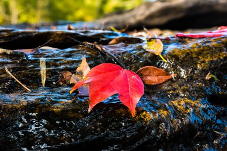 Natural background. Maple Leaf floating in a waterfall.