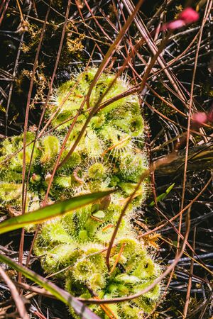Natural background.Flower Drosera burmannii. There are drops on the trunk. Stock Photo