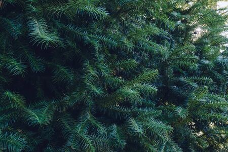 Forrest of green pine trees on mountainside. Natural background of pine leaves Stock fotó