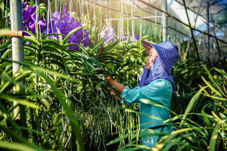 The young woman worker is taking care of the orchid flower in garden. Agriculture, orchid Plantation cultivation.Orchidaceae,Vanda coerulea Stock Photo