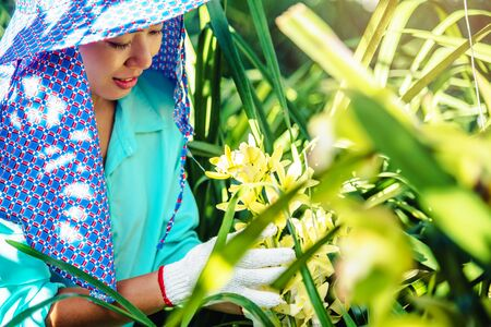 The young woman worker is taking care of the orchid flower in garden. Cymbidium orchid yellow. Stock Photo