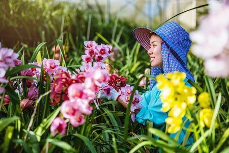 worker gardener is taking care of the orchid flower in garden. orchid Plantation cultivation. Cymbidium Orchid