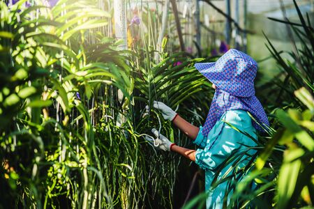 The young woman worker is taking care of the orchid flower in garden. Agriculture, orchid Plantation cultivation.Orchidaceae