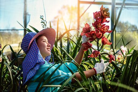 The young woman worker is taking care of the orchid flower in garden. Cymbidium orchid Red.