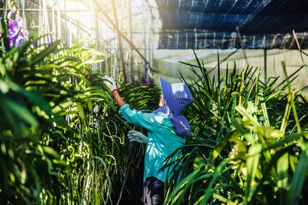 The young woman worker is taking care of the orchid flower in garden. Agriculture, orchid Plantation cultivation.
