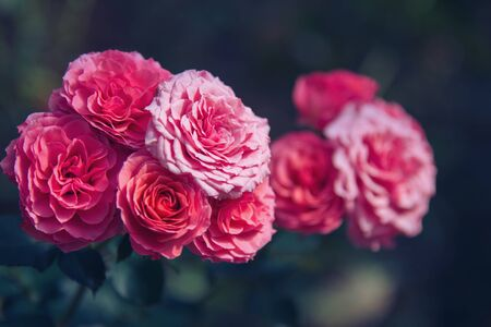 background nature Flower Valentine. pink, rose background blur.Valentines Day