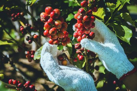 Kaffeebaum mit Kaffeebohnen auf Kaffeeplantage, wie man Kaffeebohnen erntet.