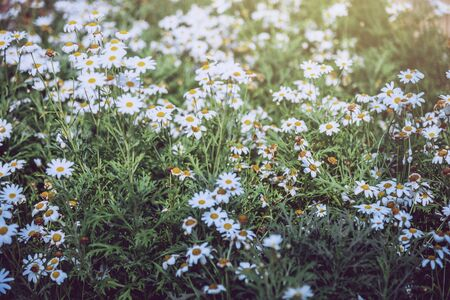 background natural Field daisies in a dream atmosphere. Flower Bouquet daisies light.